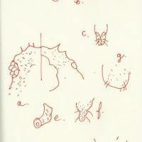 Moraczewska-tuberocephalus-dessin